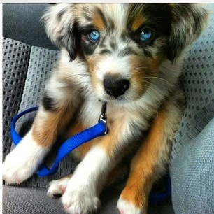 Goberian Golden Retriever-Siberian Husky Mix